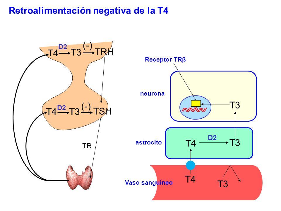 T4 T3 D2 TRH TSH (-) Retroalimentación negativa de la T4 Receptor TRβ T4 T3 TR neurona astrocito Vaso sanguíneo D2