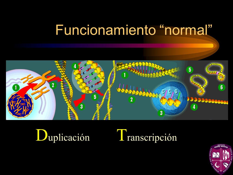 Funcionamiento normal D uplicación T ranscripción