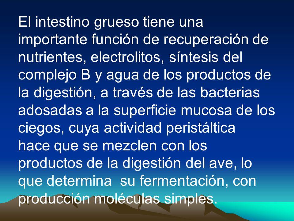 El intestino grueso tiene una importante función de recuperación de nutrientes, electrolitos, síntesis del complejo B y agua de los productos de la di
