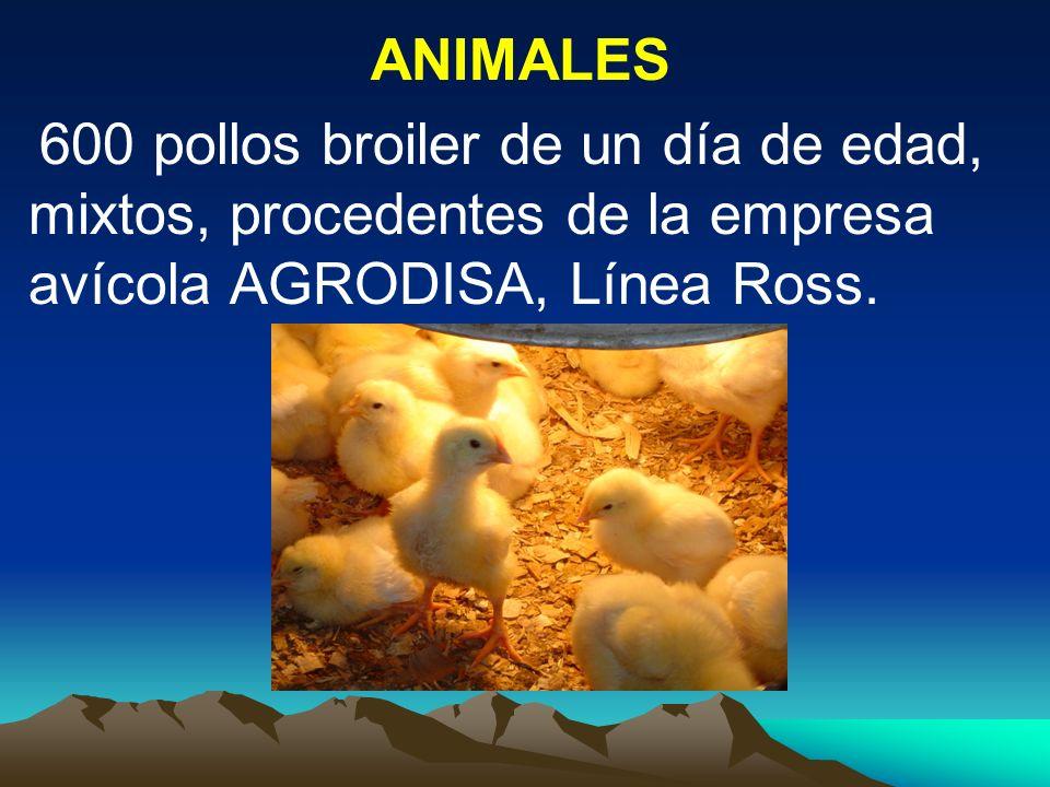 ANIMALES 600 pollos broiler de un día de edad, mixtos, procedentes de la empresa avícola AGRODISA, Línea Ross.