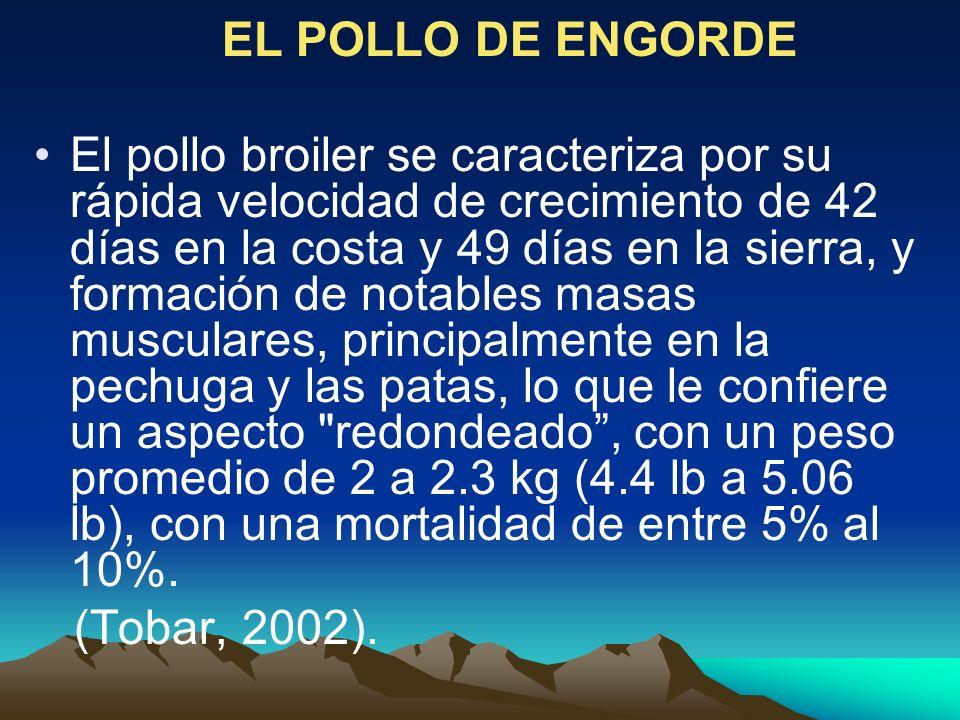 EL POLLO DE ENGORDE El pollo broiler se caracteriza por su rápida velocidad de crecimiento de 42 días en la costa y 49 días en la sierra, y formación