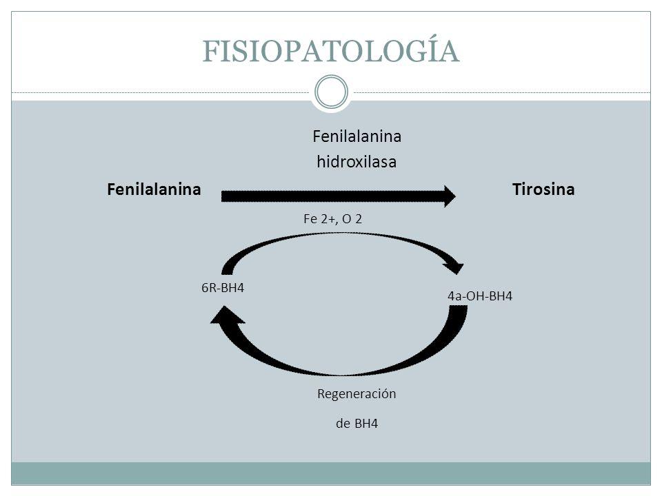 FISIOPATOLOGÍA Fenilalanina hidroxilasa FenilalaninaTirosina Fe 2+, O 2 6R-BH4 4a-OH-BH4 Regeneración de BH4