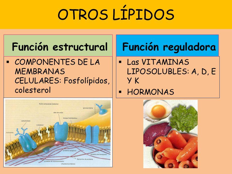 OTROS LÍPIDOS COMPONENTES DE LA MEMBRANAS CELULARES: Fosfolípidos, colesterol Las VITAMINAS LIPOSOLUBLES: A, D, E Y K HORMONAS Función estructural Función reguladora