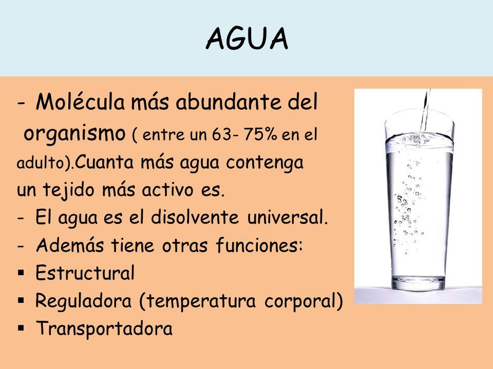 AGUA -Molécula más abundante del organismo ( entre un 63- 75% en el adulto).