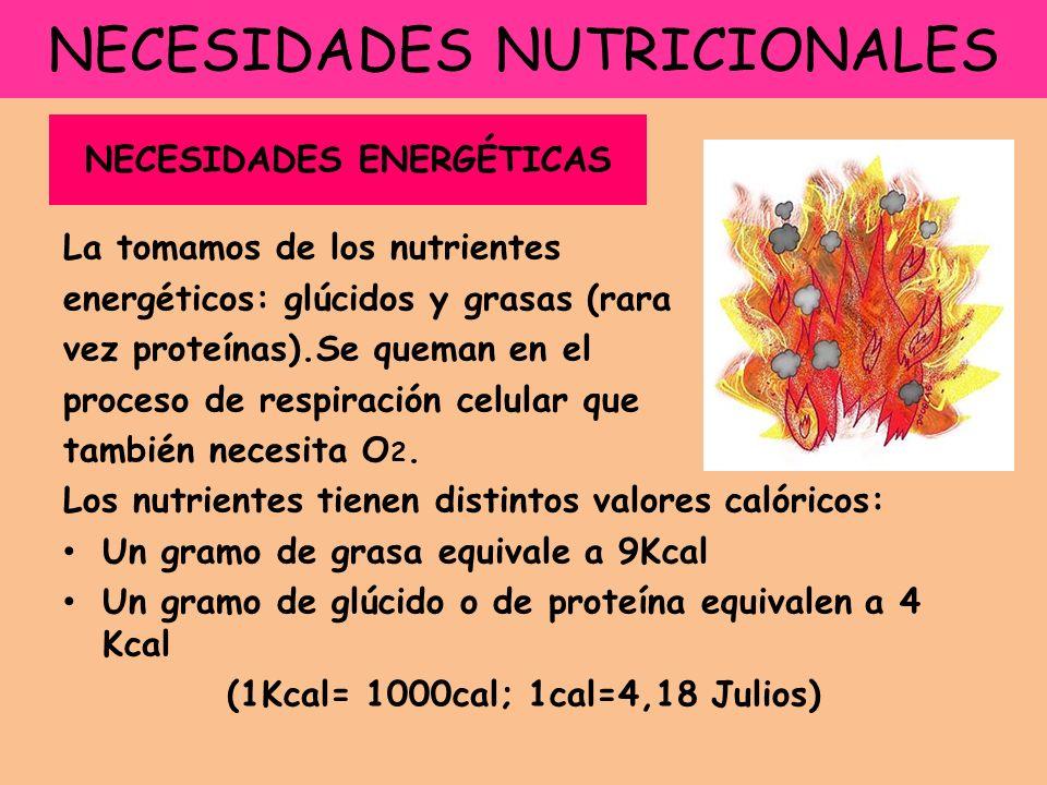 NECESIDADES NUTRICIONALES La tomamos de los nutrientes energéticos: glúcidos y grasas (rara vez proteínas).Se queman en el proceso de respiración celular que también necesita O 2.