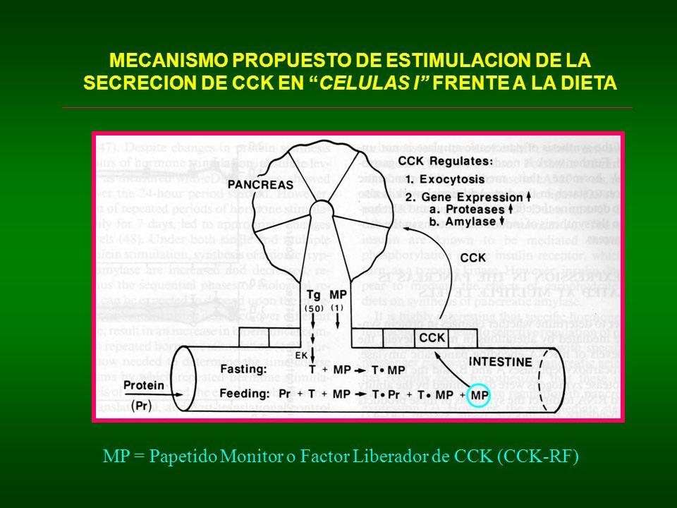 MECANISMO PROPUESTO DE ESTIMULACION DE LA SECRECION DE CCK EN CELULAS I FRENTE A LA DIETA MP = Papetido Monitor o Factor Liberador de CCK (CCK-RF)