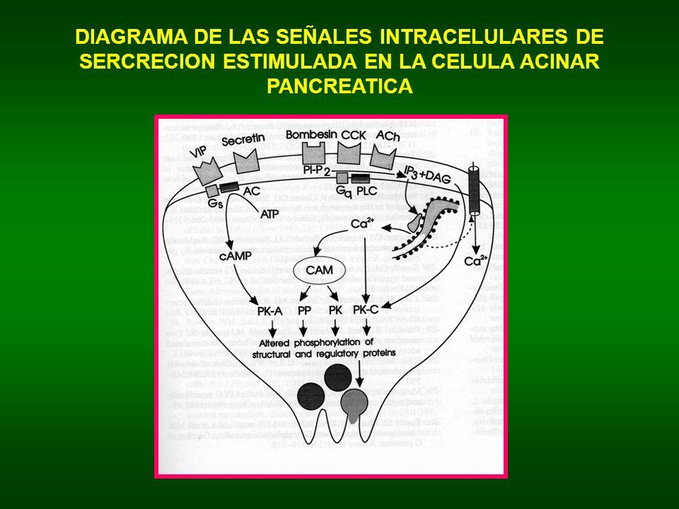 DIAGRAMA DE LAS SEÑALES INTRACELULARES DE SERCRECION ESTIMULADA EN LA CELULA ACINAR PANCREATICA