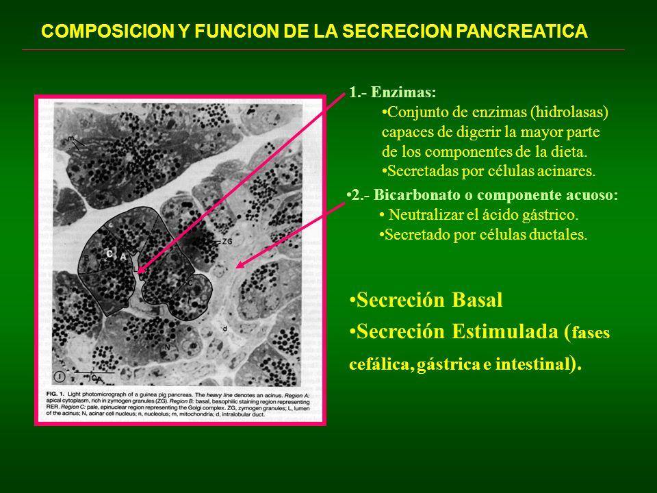 Correlación entre la tasa de secreción y composición electrolítica del jugo pancreático 20 60 100 140 Concetración (M-equiv/lt) Na + HCO 3 - Cl - K + Flujo Pancreático (ml/min) 0.40.81.21.6 BASAL ESTIMULADA 3-4 veces la concentración plasmática.