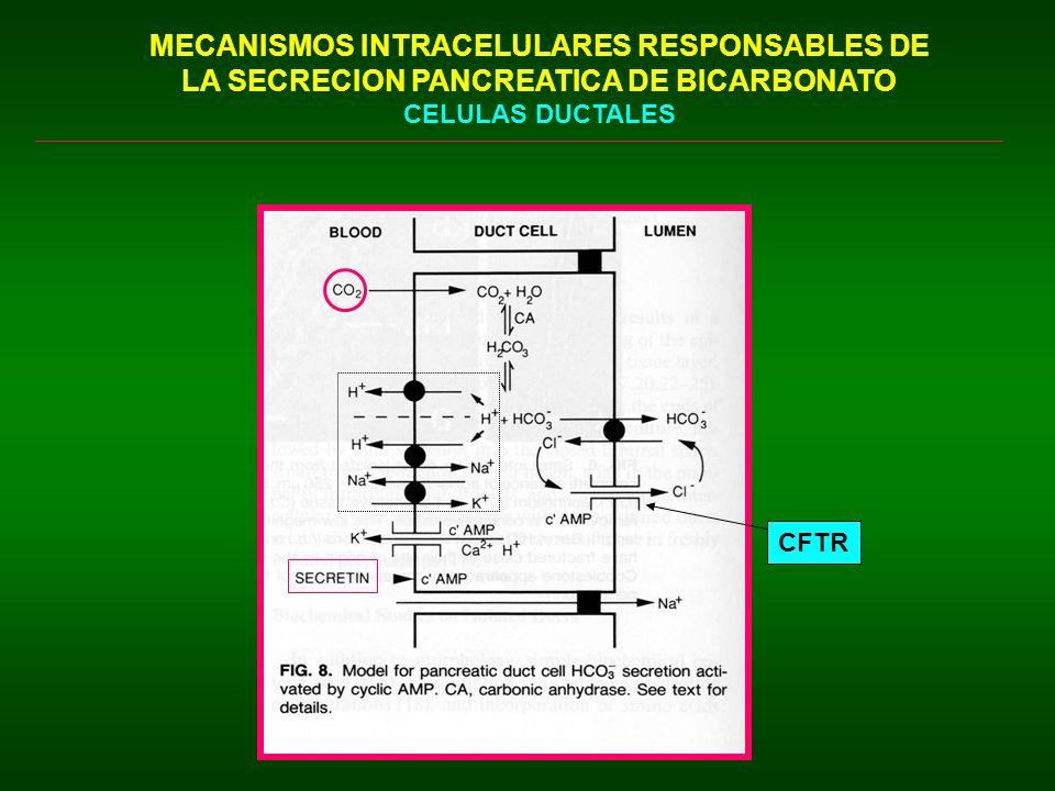 INHIBICION DE LA SECRECION PANCREATICA Secreción Autoregulada o Regulación Feedback de la Secreción Pancreática Tripsina, quimotripsina, elastasa CCK (-) DUODENO ACINO