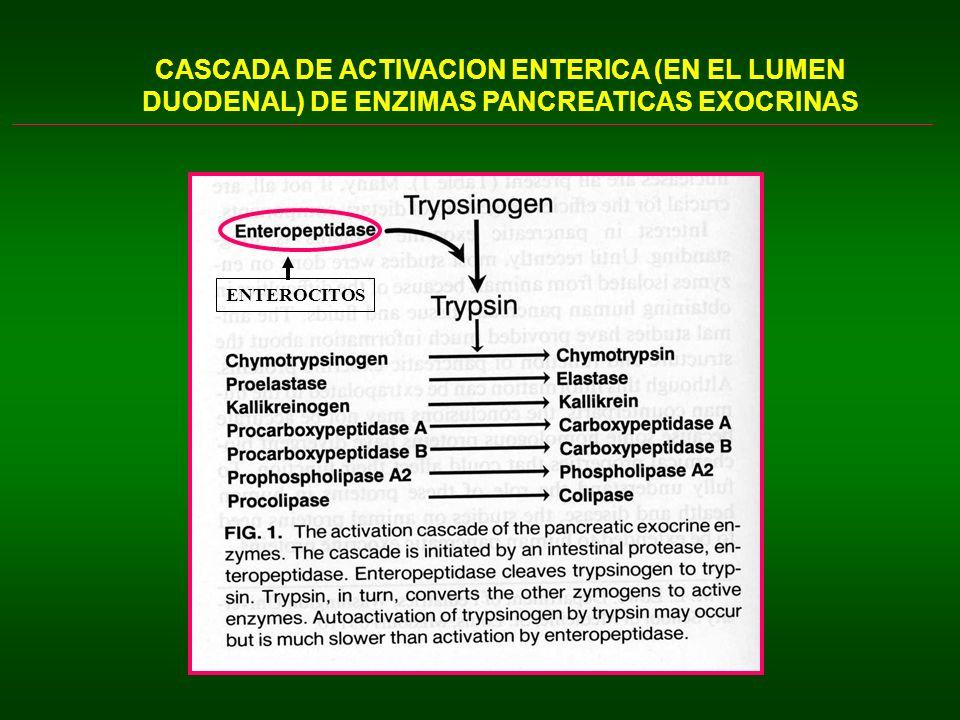 ESTIMULACION DE LA SECRECION PANCREATICA MECANISMOS HORMONALES SECRETINA (HGI de la familia secretinas): 27aa; cél.