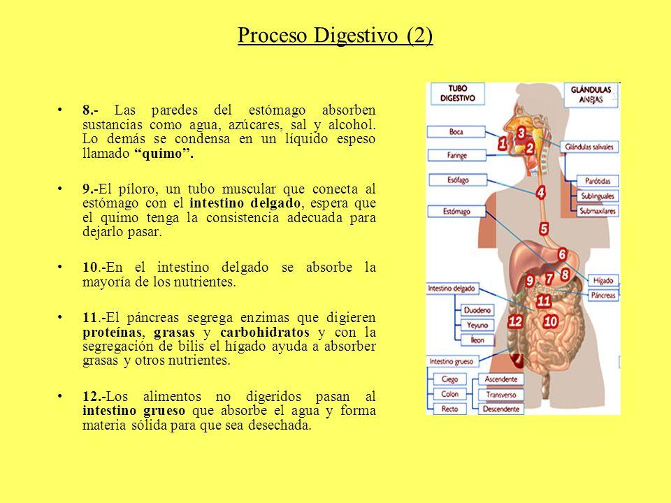 Proceso Digestivo (2) 8.- Las paredes del estómago absorben sustancias como agua, azúcares, sal y alcohol. Lo demás se condensa en un líquido espeso l