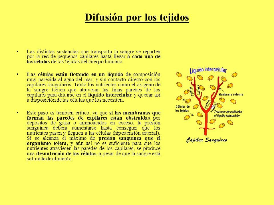Difusión por los tejidos Las distintas sustancias que transporta la sangre se reparten por la red de pequeños capilares hasta llegar a cada una de las