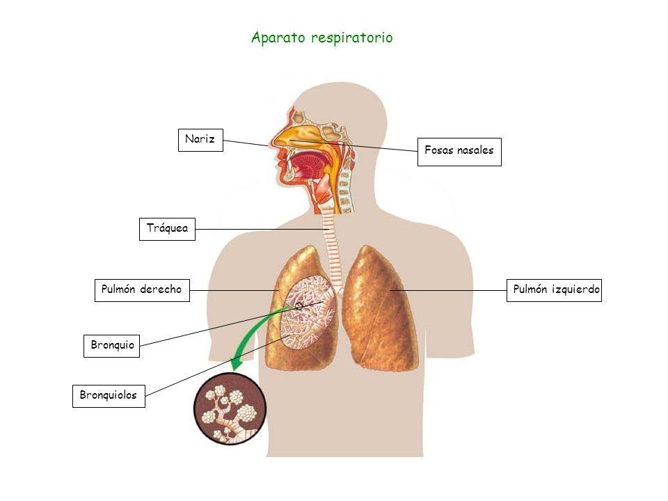 Fosas nasales Nariz Tráquea Pulmón izquierdo Bronquio Bronquiolos Pulmón derecho Aparato respiratorio