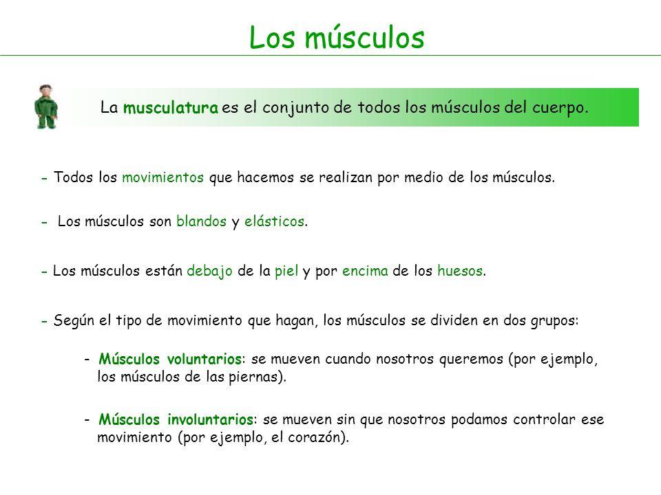 Los músculos La musculatura es el conjunto de todos los músculos del cuerpo. - Todos los movimientos que hacemos se realizan por medio de los músculos