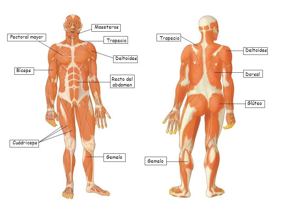 Pectoral mayor Bíceps Cuádriceps Maseteros Trapecio Deltoides Recto del abdomen Gemelo Trapecio Deltoides Dorsal Glúteo Gemelo