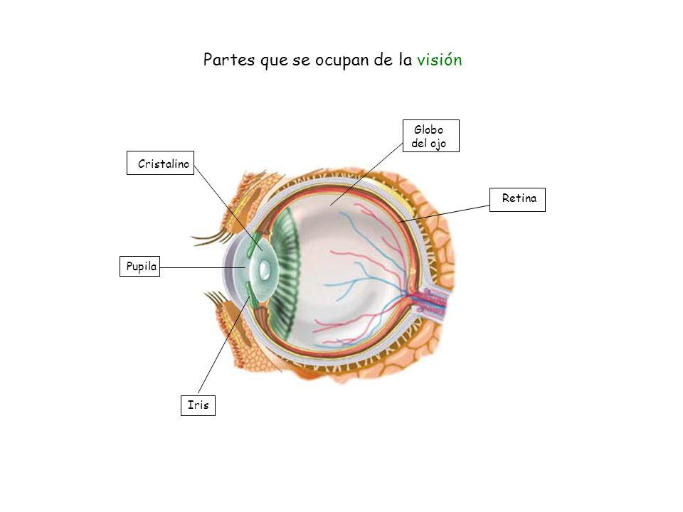 Cristalino Partes que se ocupan de la visión Pupila Iris Retina Globo del ojo