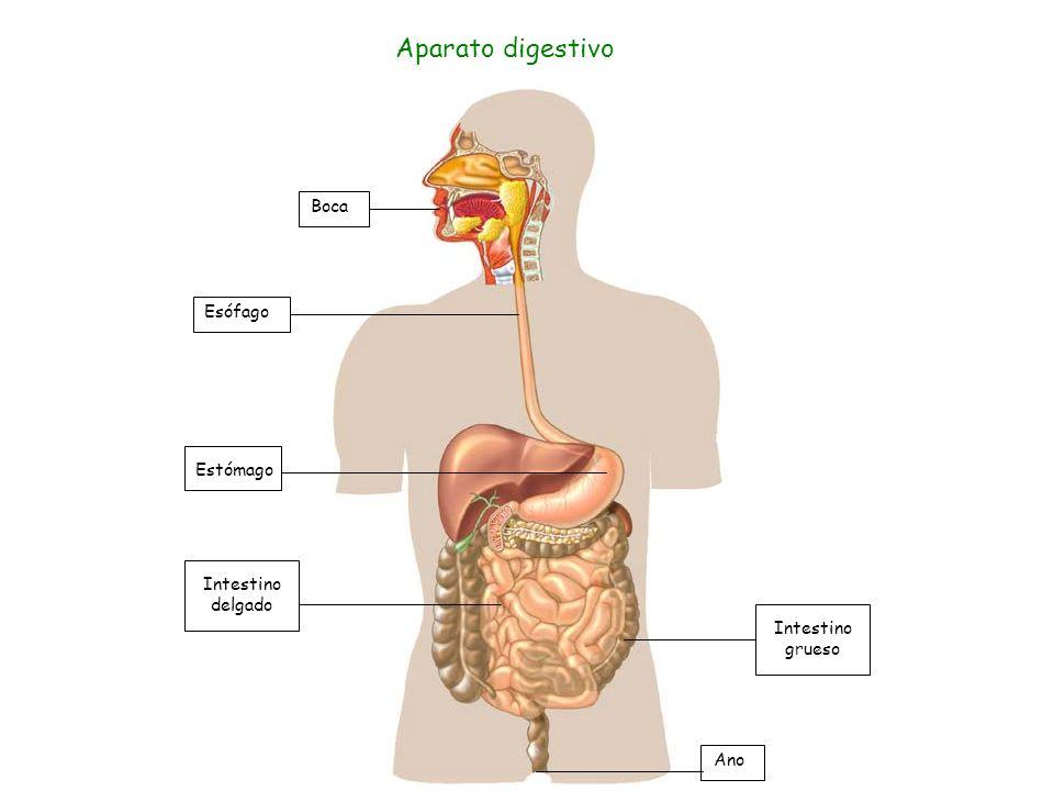 Boca Esófago Intestino delgado Estómago Intestino grueso Ano Aparato digestivo