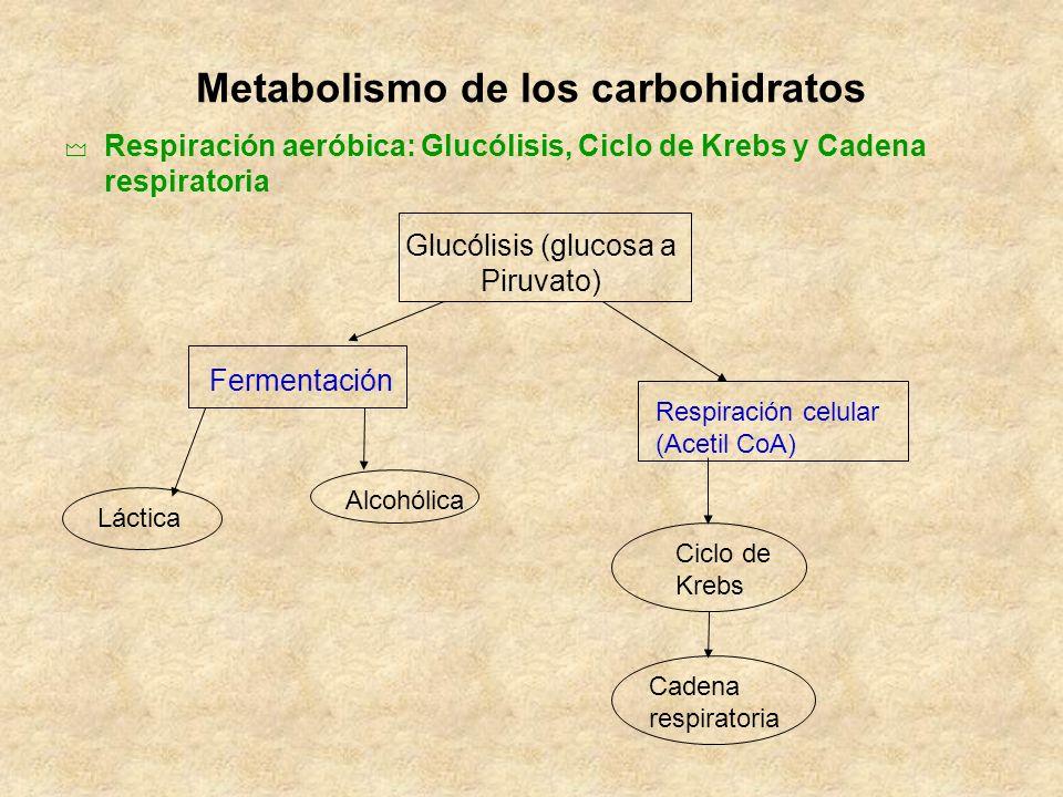 Metabolismo de los carbohidratos Respiración aeróbica: Glucólisis, Ciclo de Krebs y Cadena respiratoria Glucólisis (glucosa a Piruvato) Fermentación R