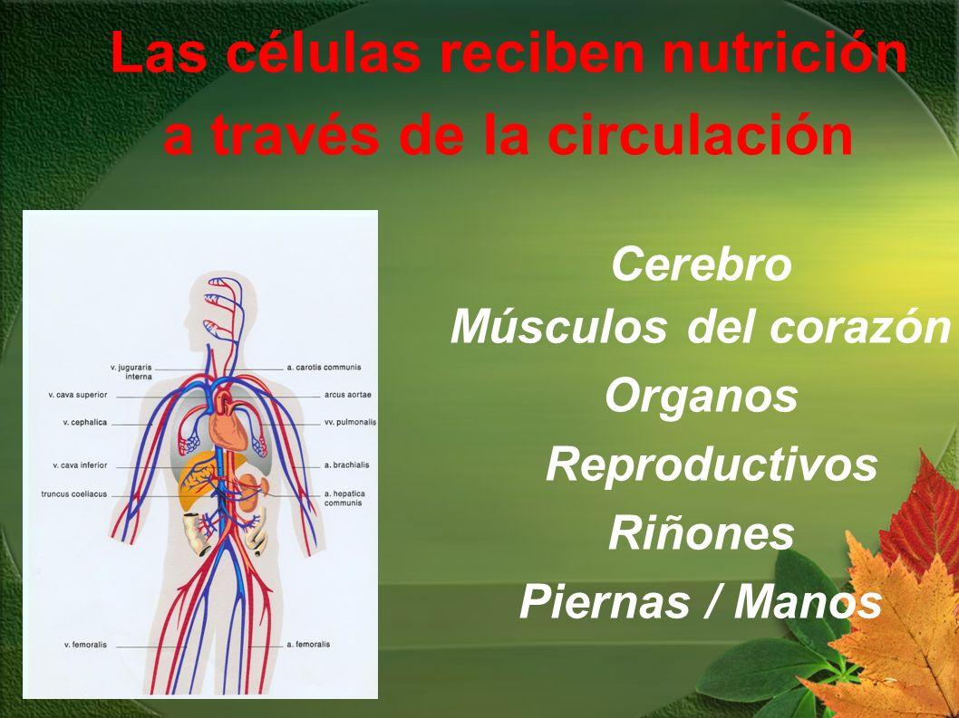Cerebro Músculos del corazón Organos Reproductivos Riñones Piernas / Manos Las células reciben nutrición a través de la circulación