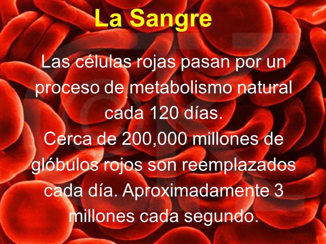 Las células rojas pasan por un proceso de metabolismo natural cada 120 días. Cerca de 200,000 millones de glóbulos rojos son reemplazados cada día. Ap