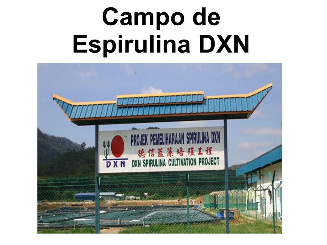 DXN Spirulina Farm Campo de Espirulina DXN