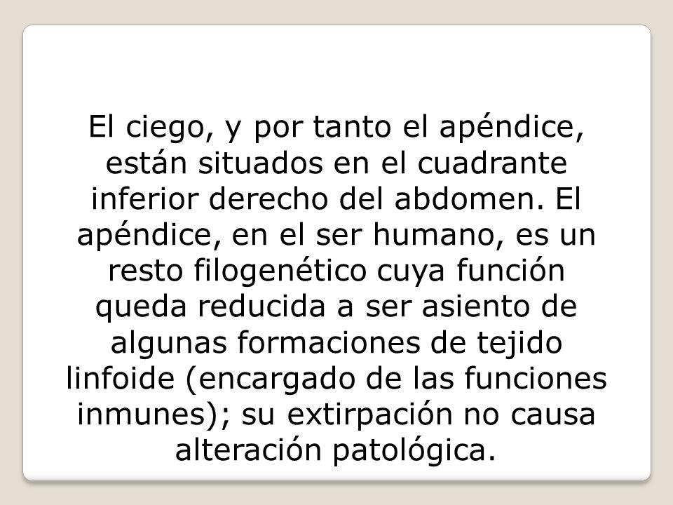 El ciego, y por tanto el apéndice, están situados en el cuadrante inferior derecho del abdomen. El apéndice, en el ser humano, es un resto filogenétic