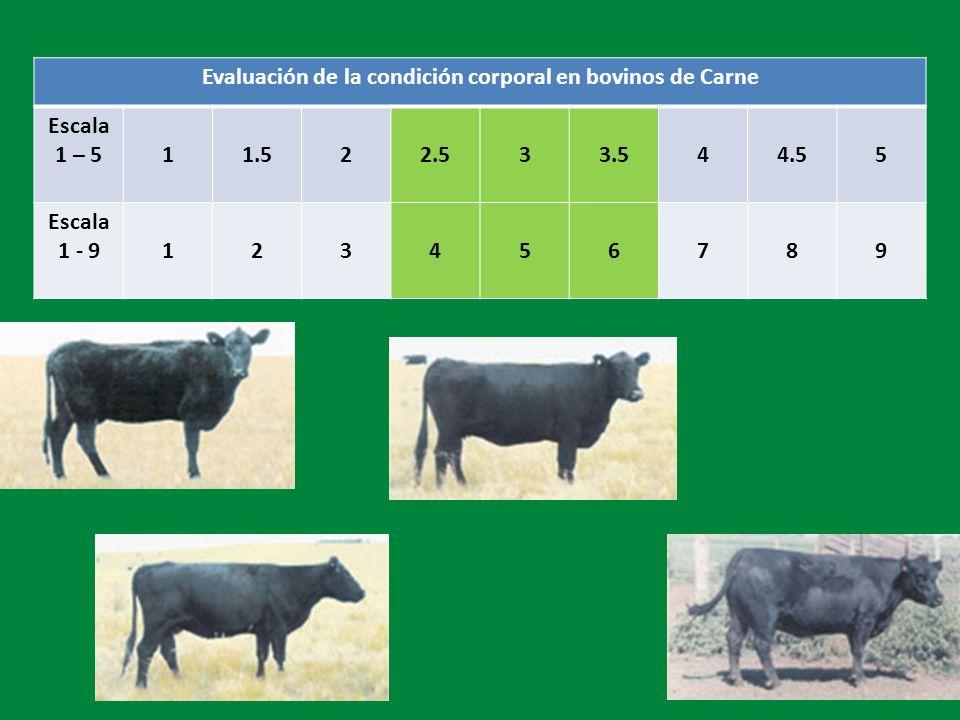 Evaluación de la condición corporal en bovinos de Carne Escala 1 – 5 11.522.533.544.55 Escala 1 - 9123456789