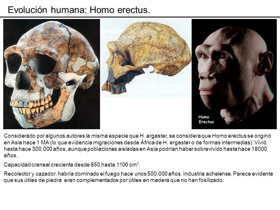 Evolución humana: Homo antecessor.Habría vivido en Europa meridional entre hace 1,2 y 0,7 MA.