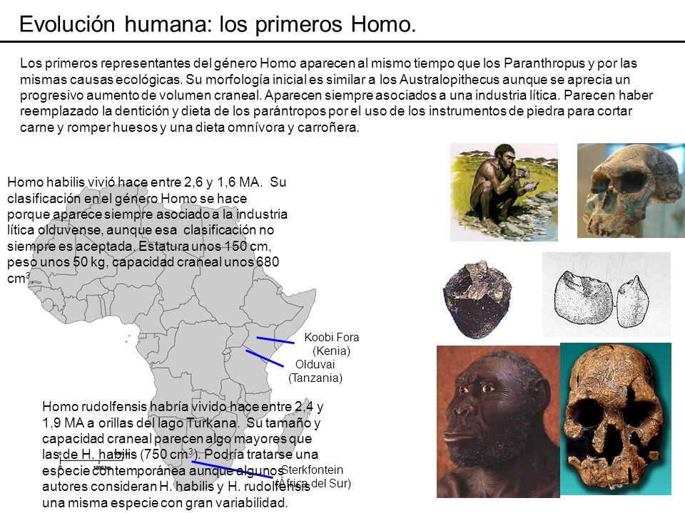 Evolución humana: Homo ergaster.