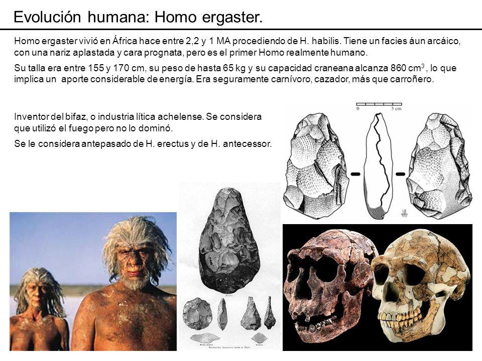 Evolución humana: Homo erectus.Considerado por algunos autores la misma especie que H.