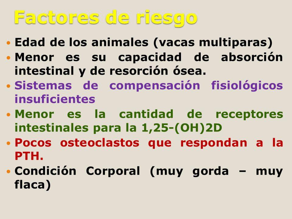Factores de riesgo Edad de los animales (vacas multiparas) Menor es su capacidad de absorción intestinal y de resorción ósea. Sistemas de compensación