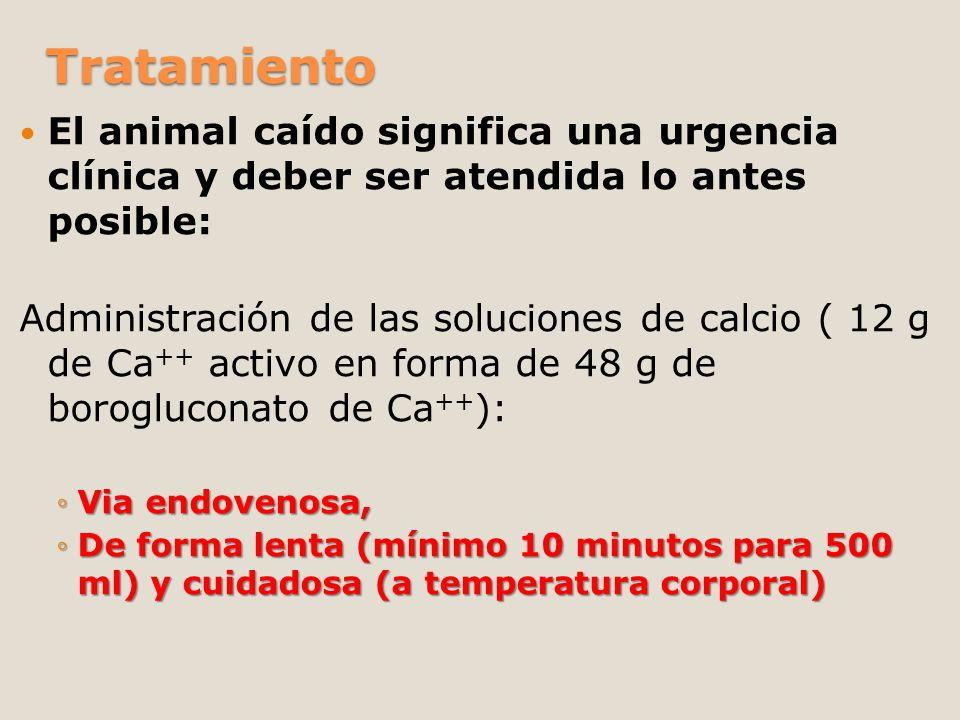 Tratamiento El animal caído significa una urgencia clínica y deber ser atendida lo antes posible: Administración de las soluciones de calcio ( 12 g de