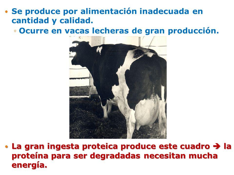 Se produce por alimentación inadecuada en cantidad y calidad. Ocurre en vacas lecheras de gran producción. La gran ingesta proteica produce este cuadr
