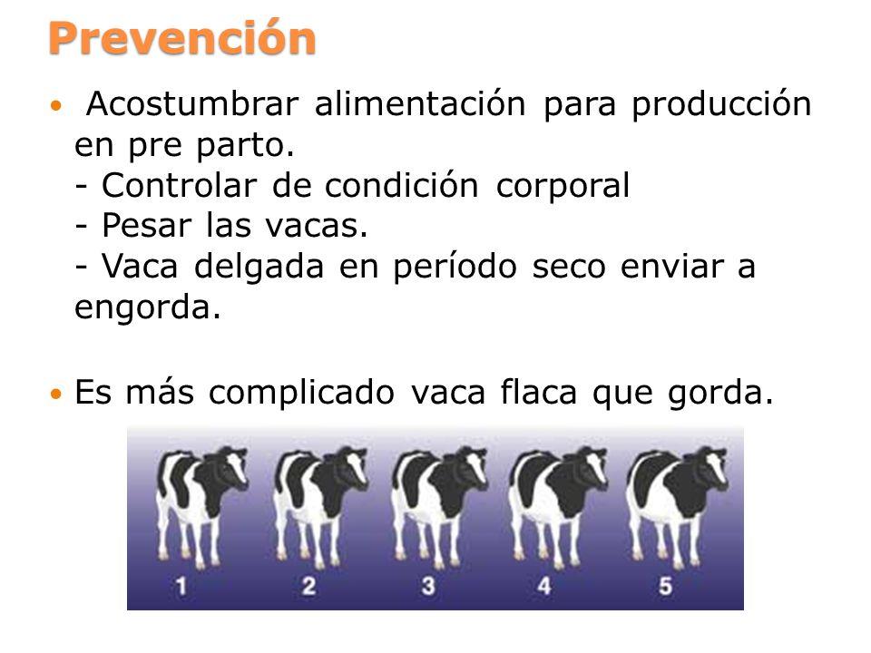 Prevención Acostumbrar alimentación para producción en pre parto. - Controlar de condición corporal - Pesar las vacas. - Vaca delgada en período seco