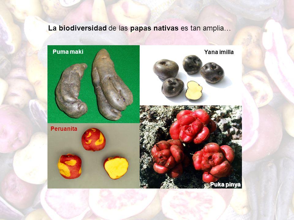 Yana imilla Puma maki Peruanita Puka pinya La biodiversidad de las papas nativas es tan amplia…