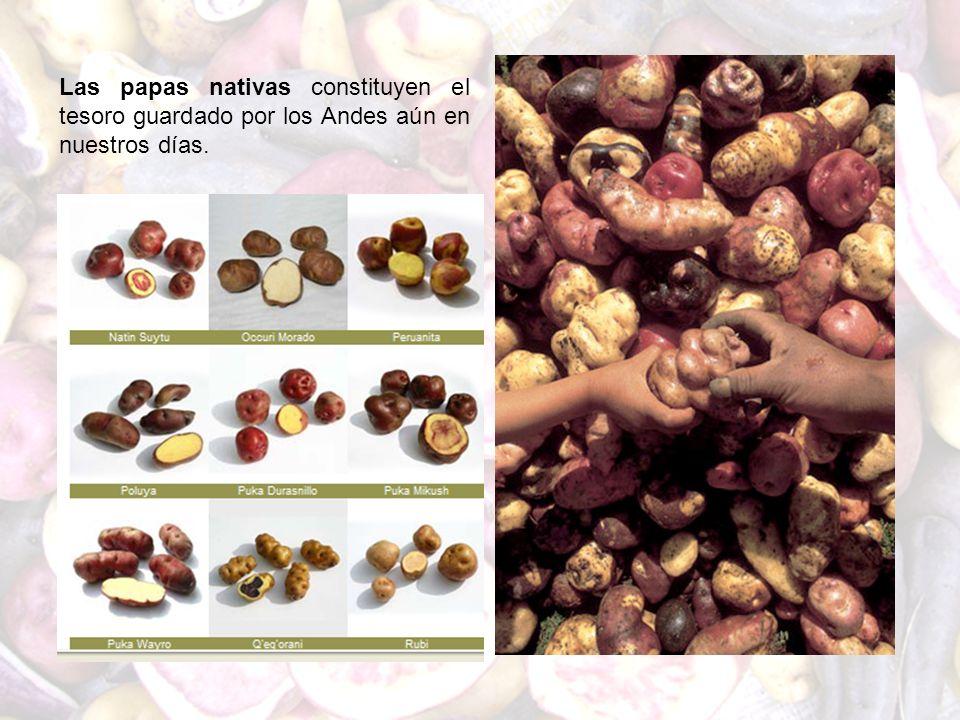 Las papas nativas constituyen el tesoro guardado por los Andes aún en nuestros días.