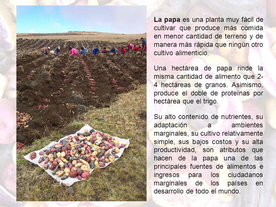 La papa es una planta muy fácil de cultivar que produce más comida en menor cantidad de terreno y de manera más rápida que ningún otro cultivo aliment