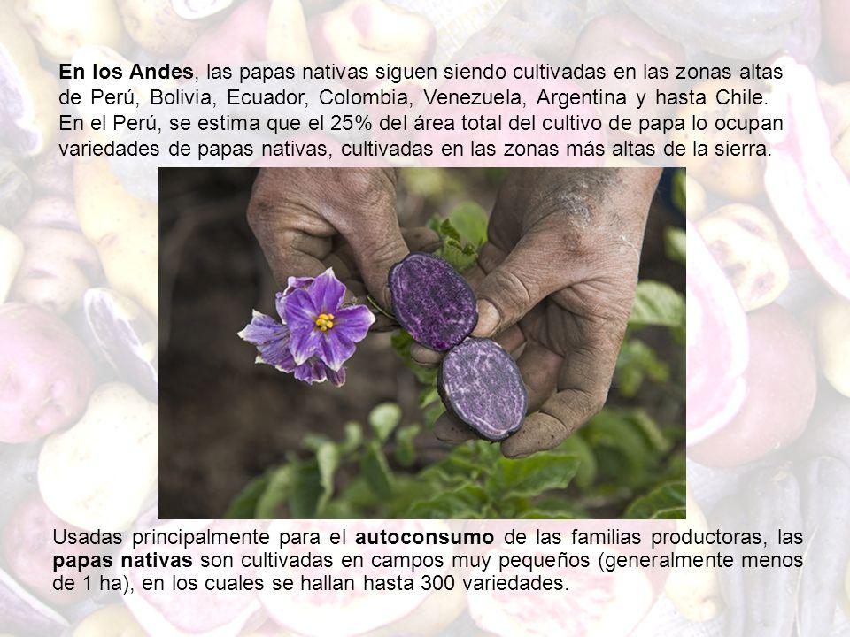 Usadas principalmente para el autoconsumo de las familias productoras, las papas nativas son cultivadas en campos muy pequeños (generalmente menos de