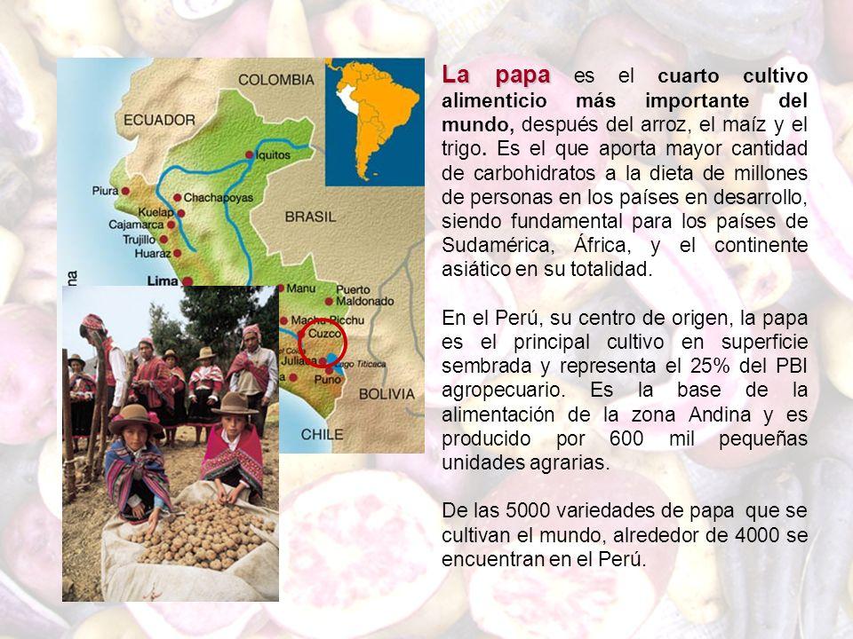 La papa La papa es el cuarto cultivo alimenticio más importante del mundo, después del arroz, el maíz y el trigo. Es el que aporta mayor cantidad de c