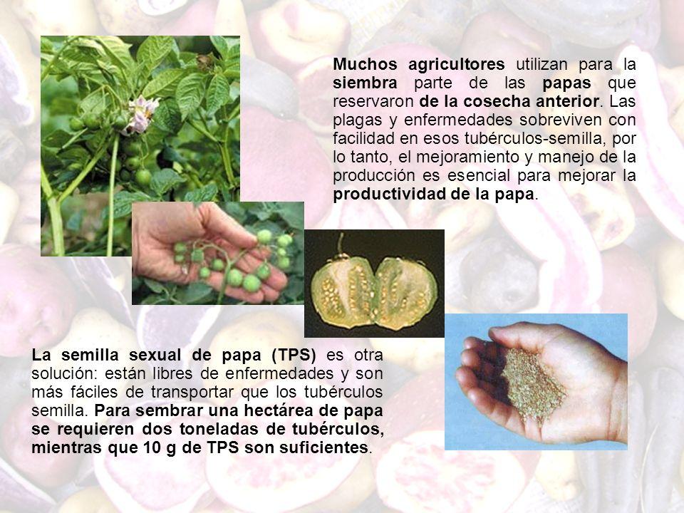 Muchos agricultores utilizan para la siembra parte de las papas que reservaron de la cosecha anterior. Las plagas y enfermedades sobreviven con facili