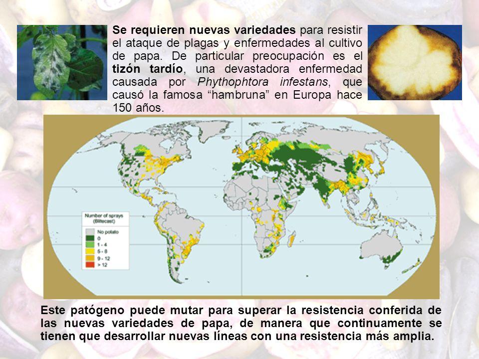Se requieren nuevas variedades para resistir el ataque de plagas y enfermedades al cultivo de papa. De particular preocupación es el tizón tardío, una