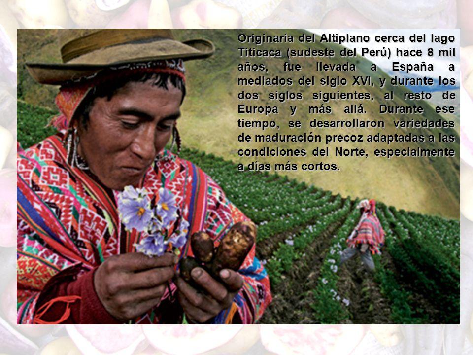 Originaria del Altiplano cerca del lago Titicaca (sudeste del Perú) hace 8 mil años, fue llevada a España a mediados del siglo XVI, y durante los dos