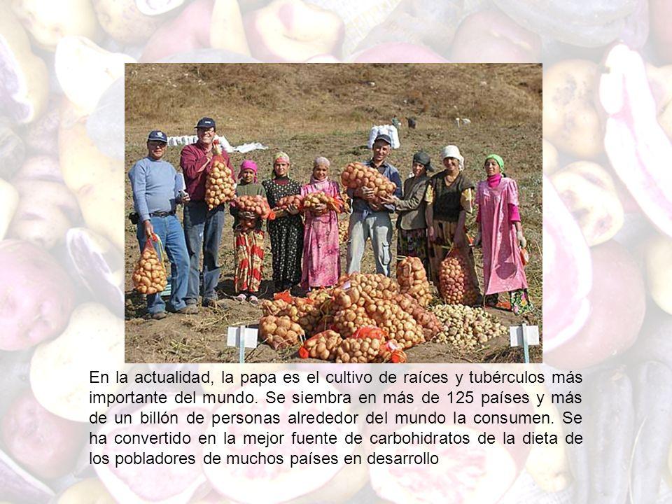 En la actualidad, la papa es el cultivo de raíces y tubérculos más importante del mundo. Se siembra en más de 125 países y más de un billón de persona
