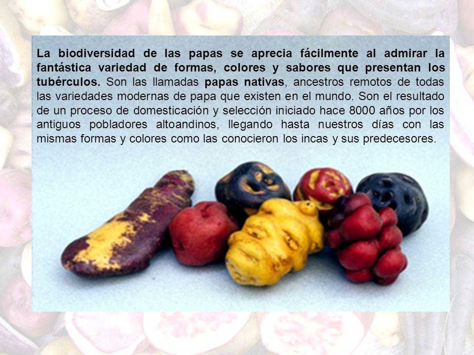 La biodiversidad de las papas se aprecia fácilmente al admirar la fantástica variedad de formas, colores y sabores que presentan los tubérculos. Son l