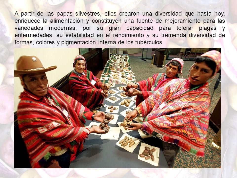 A partir de las papas silvestres, ellos crearon una diversidad que hasta hoy, enriquece la alimentación y constituyen una fuente de mejoramiento para