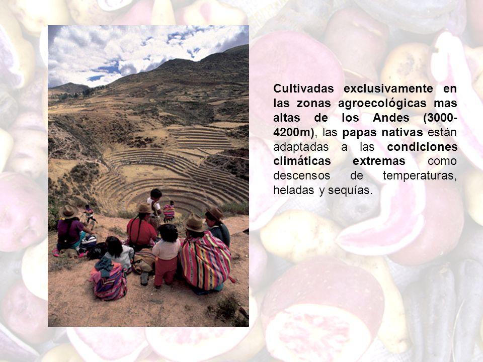 Cultivadas exclusivamente en las zonas agroecológicas mas altas de los Andes (3000- 4200m), las papas nativas están adaptadas a las condiciones climát