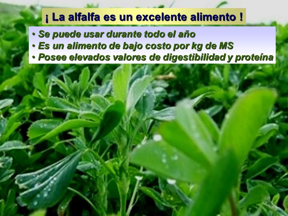 ¡ La alfalfa es un excelente alimento ! Se puede usar durante todo el año Se puede usar durante todo el año Es un alimento de bajo costo por kg de MS