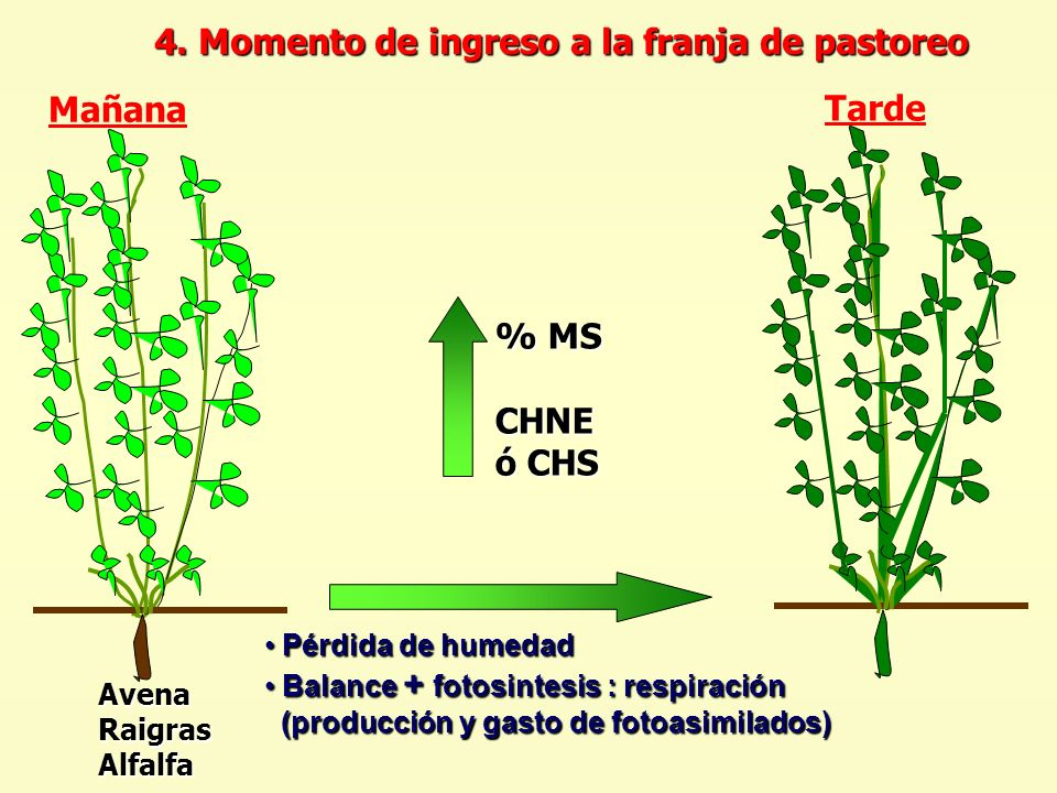 Mañana Tarde % MS CHNE ó CHS 4. Momento de ingreso a la franja de pastoreo Pérdida de humedad Pérdida de humedad Balance + fotosintesis : respiración