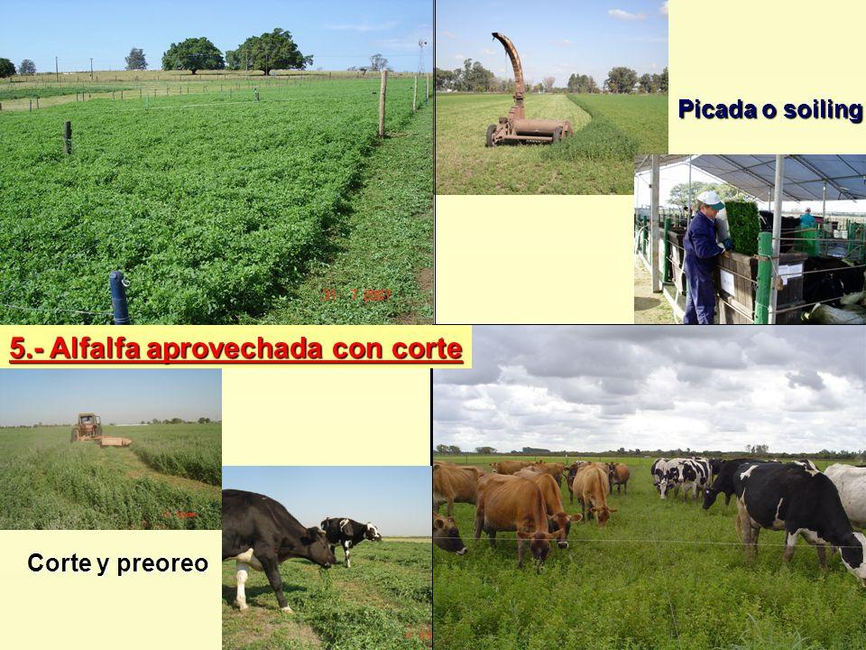 5.- Alfalfa aprovechada con corte Picada o soiling Corte y preoreo