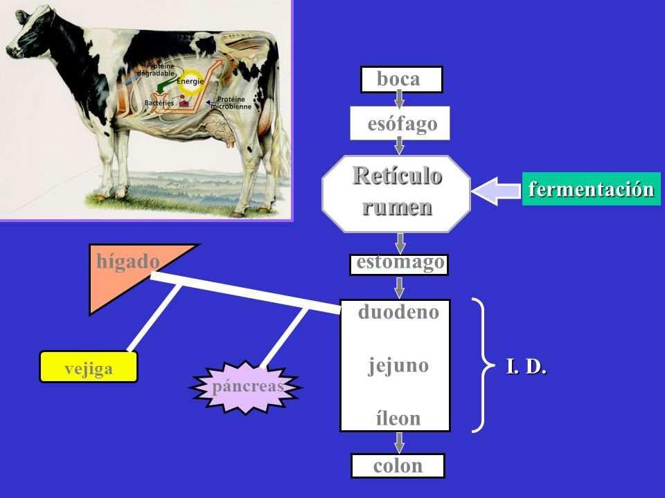 Metabolismo Energético Gases Intestino Energía RaciónRumen Subproductos Concentrados Granos Alimentos fibrosos Pastura Silo o Heno Glucosa (Glucosa) (Alimentos que escapan fermentación microbial) Ácidos grasos volatiles Amonio Bacterias Proteína bacterial Amino ácidos Absorbidos en la sangre Energía (Maintenimiento preñez, lactación, etc.) Absorbidos en la sangre